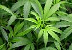 Polling Marijuana