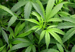 Marijuana Sondage
