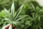 الماريجوانا الإستطلاع